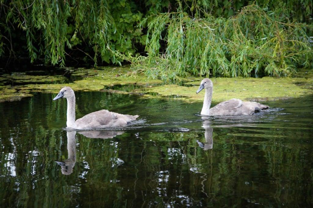 Swans Scotland