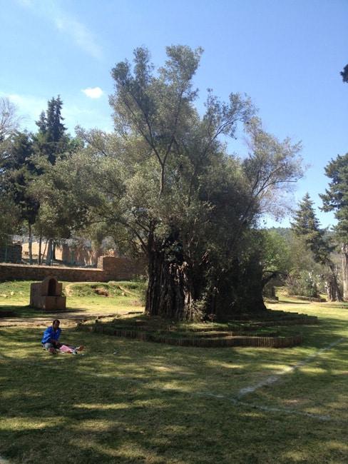 old ilive tree