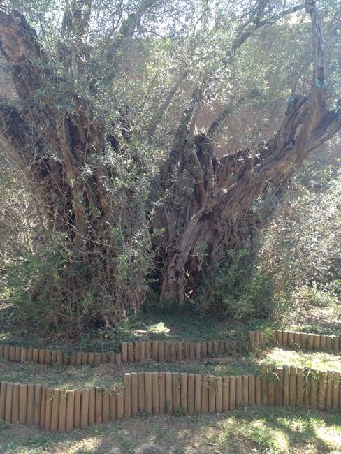 wide olive tree