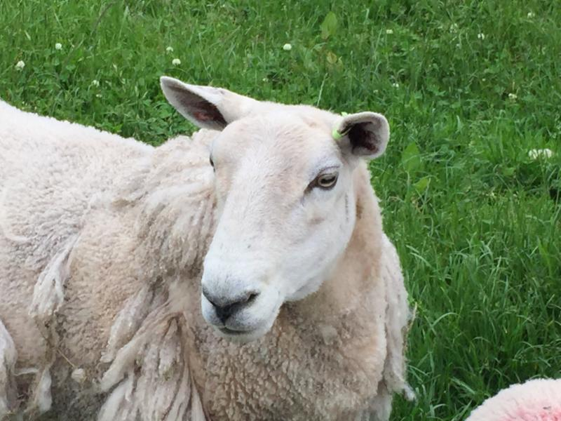 sheep-close-up