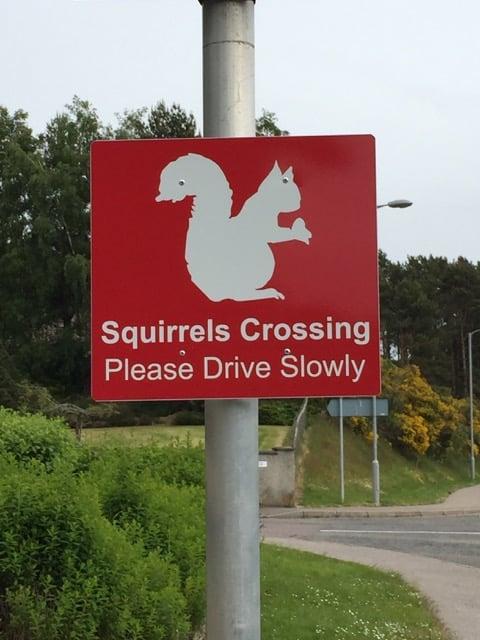 squirrels-crossing