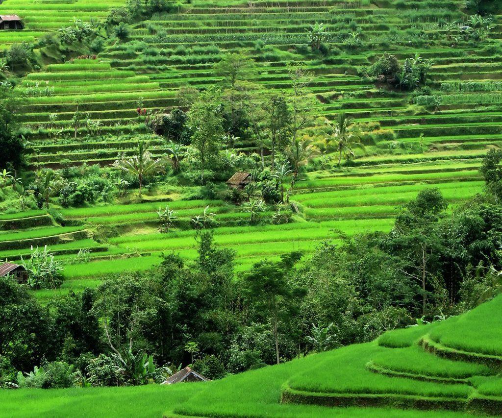 rice-terraces-cropped-bali-laura-davis