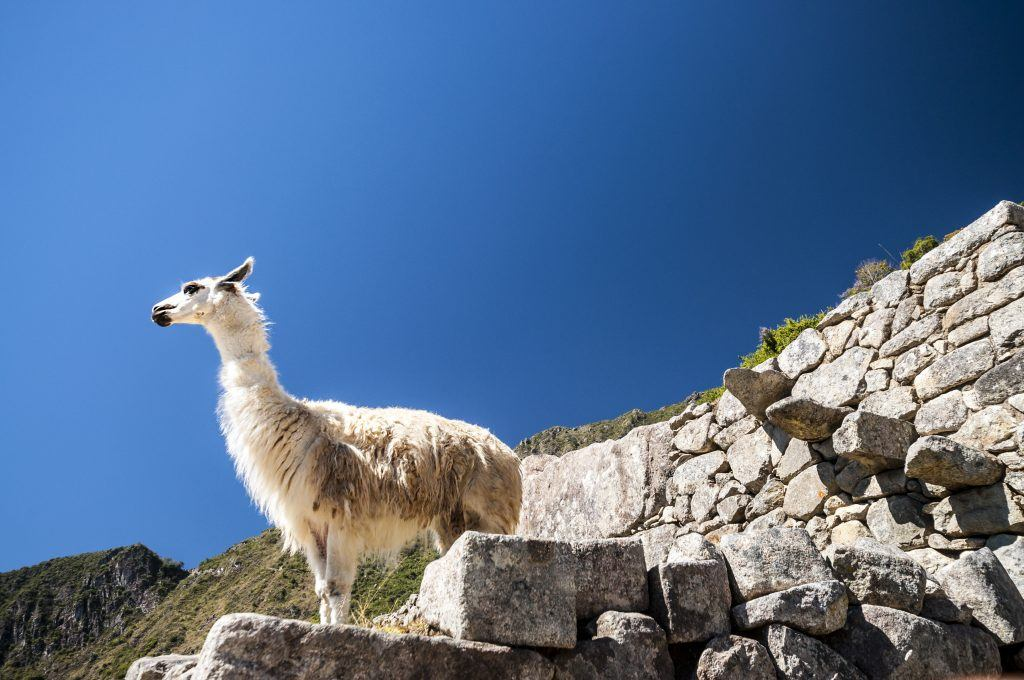 llama standing in Macchu picchu ruins on deep blue sky
