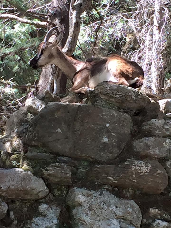 laura-davis-greece-samaria-gorge-ibex-goat