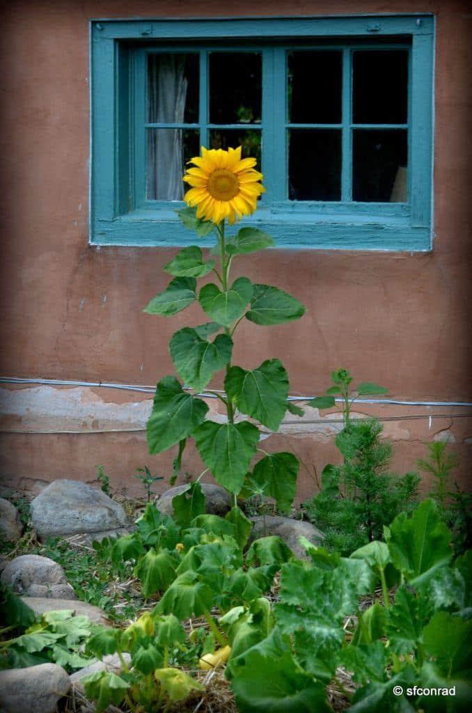 taos-sunflower
